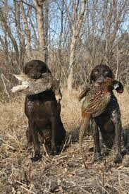 german shorthaired pointer shed breed profile german shorthaired pointer gun magazine
