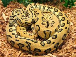 Coastal Carpet Python Facts by 18 Best Carpet Pythons Images On Pinterest Python Reptiles And