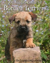 Non Shedding Husky Cross by Border Terrier A Complete Guide The Happy Puppy Site