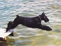 Do Giant Schnauzers Shed by 55 Best Giant Schnauzers Images On Pinterest Giant Schnauzer