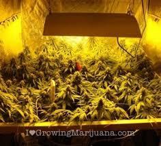 1000 Watt Hps Lamp Height by The Best Marijuana Grow Lights