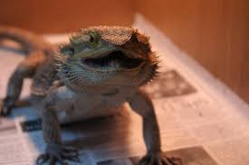 Bearded Dragon Shedding In Patches by Skin Change Pics Included U2022 Bearded Dragon Org
