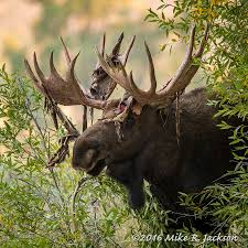 Bull Moose Shedding Antlers by A Harbinger Of Fall Moose Stripping His Velvet Covered Antlers