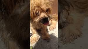 Shih Tzu Lhasa Apso Shedding by Lhasa Apso Blonde Happy After Bath Dog Run Cane Contento Dopo Il