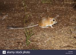 Kangaroo Rat Stock Photos & Kangaroo Rat Stock Images - Alamy Farmer Saves Rat From Death In Her Own Barn Redwood Coast Aazk Rat Poison Alternatives Mouse Poop Droppings Victor The Chicken Chick 15 Tips To Control Rodents Around Coops Black Rattus Rattus Foraging Of Farm Stock Photo Barn Owl About Enter Its Nest Carrying A Dead For Young Nose Work Hunt 44094 Kangaroo Rats San Diego Zoo Institute Cservation Research Mice And New York The Barn Rat Blog Remains Found Within The Wall During