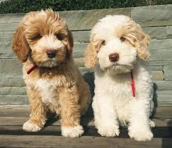 best 25 hypoallergenic dog breed ideas on pinterest small