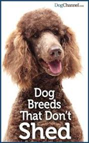 Shed Free Dogs Pictures by What Makes A Hypoallergenic Dog Hypoallergenic Free Dogs Dog