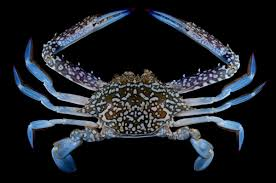 Decorator Crab Tank Mates by Crustacea Classe Malacostraca Subclasse Eumalacostraca Ordem