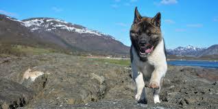 Do Akitas Shed Bad by 100 Do Long Haired Akitas Shed Akita Dogsactually Grooming