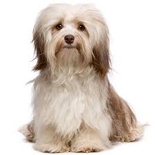 Hypoallergenic Dog Breeds That Dont Shed by K9 1 On 1 Best Small Dogs For Families
