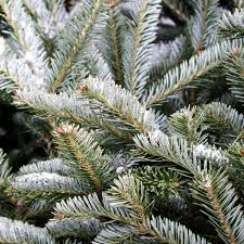 Types Christmas Trees Most Fragrant by Types Of Trees Galehouse Tree Farm