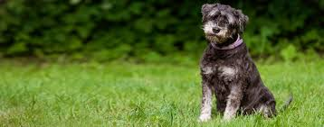 Do Giant Schnauzer Dogs Shed Hair by Miniature Schnauzer Dog Breed Health History Appearance