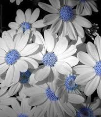 Sky Daisies graph haven t ever seen daisies with blue centers