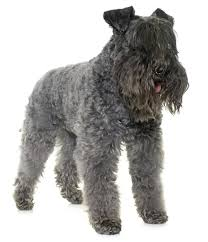 Do Giant Schnauzer Dogs Shed Hair by List Of Common Characteristics Shown By All Terrier Mix Breeds