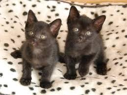 bombay cats bombay kittens available cats kittens for australia