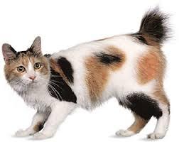 bobtail cat japanese bobtail purrfect cat breeds