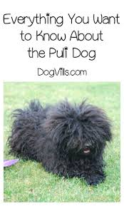 Non Shed Dog Breeds Hypoallergenic by Are Puli Hypoallergenic U0027 Dog Breeds Hypoallergenic Dog Breed