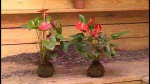 growing the anthurium root orb anthurium hybrid