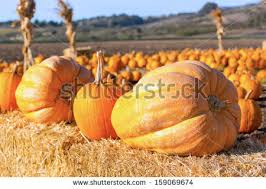 Half Moon Bay Pumpkin Patches 2015 by Half Moon Bay Pumpkins Stock Images Royalty Free Images U0026 Vectors