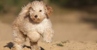 Do Hypoallergenic Dogs Still Shed by Sorry There U0027s No Such Thing As A Hypoallergenic Dog Breed Huffpost