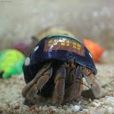 Halloween Hermit Crab Care by 11 Best Hermit Crabs Images On Pinterest Hermit Crabs Lobsters