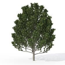 XfrogPlants Swiss Stone Pine 3D model