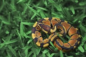 Ball Python Bedding by Do Ball Pythons Make Good Pets
