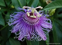 83 best Passion Flower images on Pinterest