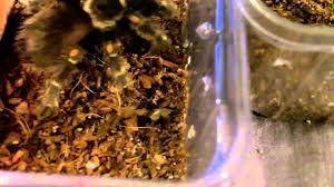 Pumpkin Patch Tarantula For Sale by Tarantula Feeding Video 100 In Hd Goodness Youtube