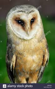 Barn Owl, Common Barn Owl (Tyto Alba, Lechusa Stirtoni ... Common Barn Owl 4 Mounths In Front Of A White Background Stock Royalty Free Images Image 23603549 Known Photo 552016159 Shutterstock Owl Wikipedia 644550523 Mdc Discover Nature Tyto Alba Perched On A Falconers Arm At Daun Audubon Field Guide Mounths Lifeonwhite 10867839 Barnowl 1861 Best Owls Snowy Saw Whets Images Pinterest Photos Dreamstime