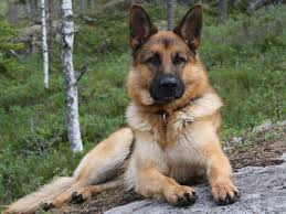 le berger pas cher chiot berger allemand entretien chiens en ville