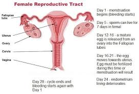 Uterus Lining Shedding Period by Why Does Menstruation Occur