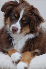 Dogs That Dont Shed A Lot by Mini Aussie Red Tri Looks Alot Like My Scooby And He Looks At Me