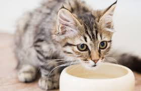 water for cats the importance of water for cats petcha