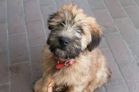 Do Wheaten Terriers Shed by Soft Coated Wheaten Terrier Appreciation Thread Weddingbee