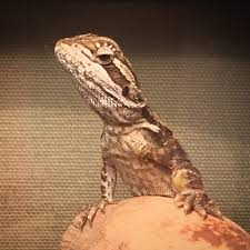 Bearded Dragon Shedding Behavior by Sick Beardie Possible Can V Yellow Fungus Not Sure