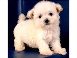 Do Hypoallergenic Dogs Shed As Puppies by Non Shedding Hypoallergenic Puppies That Come With A 5 Year Health