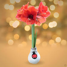 amaryllis touch of wax buy order now