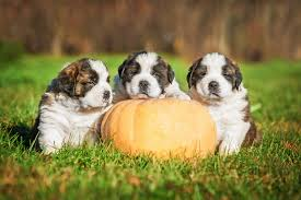 Dog Constipation Treatment Pumpkin by Pets And Pumpkins Chasing Dreams