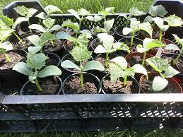 gurken sonja petersilie basilikum pflanzen tomaten paprika