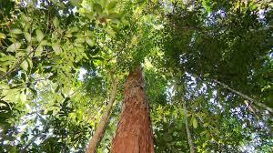 100 Pau Brazil Brasil Espcie Nativa Com Poucos Exemplares No Pas
