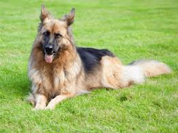 Shedding Blade German Shepherd by 5 Simple Steps To Grooming Your German Shepherd U0027s Thick Coat