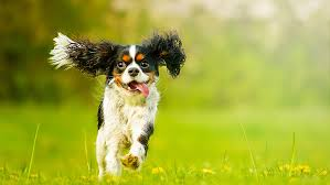 Low Shedding Big Dogs by The Best Dog Breeds For Apartment Living U2013 Realtor Com News Dogs