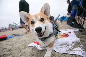More Than 1 000 Corgis Expected to Show Up at California Beach Dog
