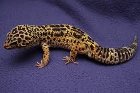 Do Leopard Geckos Shed by Getting Started With Your Leopard Gecko
