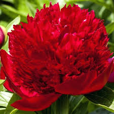 peony bulbs 2 peony tulip bulbs uk getshape club