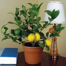 indoor meyer lemon trees for winter kitchn