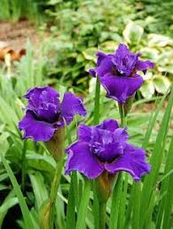 japanese iris mix sun perennials by michigan bulb company 81460 51