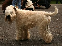 the soft coated wheaten terrier was bred in 18th century ireland