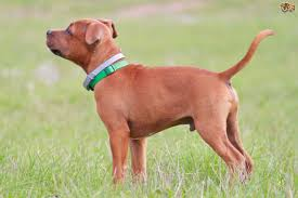 Rhodesian Ridgeback Shedding A Lot by Staffordshire Bull Terrier Dog Breed Information Buying Advice